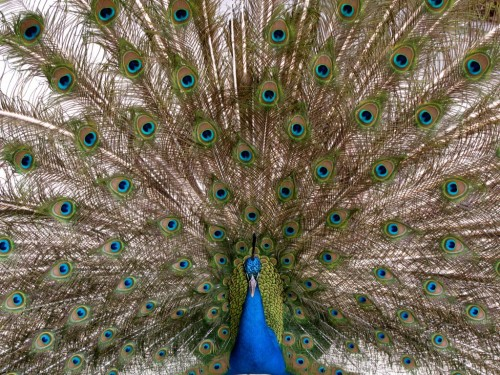 Fancy Peacock at The San Diego Zoo